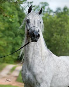 Avila Arabians :: Arabian Horses, Stallions, Farms, Arabians, for sale - Arabian Horse Network, www.arabhorse.com