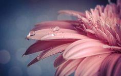 Обои картинки фото цветок, капли, макро