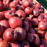 Cum recunoaştem mugurii de rod la măr   Paradis Verde Paradis, Plum, Apple, Fruit, Green, Plant, Apple Fruit, Apples