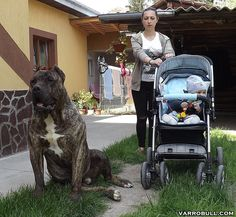Varro from Varro Bull Kennel in Romania Huge Dogs, Giant Dogs, Cane Corso Dog, Pitbulls, Rottweilers, Pregnant Dog, Farm Dogs, Hunting Dogs, Deer Hunting
