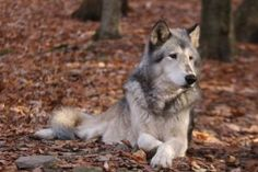 Handsome 12 year old male gray wolf, Remus, from the Binghamton Zoo in Binghamton, NY. Feel free to use as a reference or as stock for photo-manipulatio. Gray Wolf, Grey, Husky, Stock Photos, Dogs, Cute, Animals, Image, Wolves