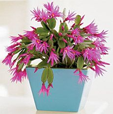 Easter Cactus--I'd like to get one of these. Easter Plants, Easter Cactus, Christmas Cactus, Christmas Ideas, Summer Plants, Cacti And Succulents, Holidays And Events, House Plants, Planting Flowers