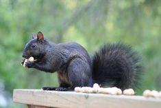 Black Squirrel_3377 | by Bobolink