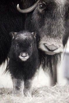 Muskox cow ➰ #animals