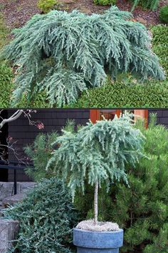 Deodar cedars have blue foliage and are the lowest growing among cedars. Cedrus Deodara, Organic Compost, Plant Diseases, Cedar Trees, Foliage Plants, Large Plants, Garden Soil, Trees And Shrubs, Blossom Flower
