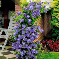 Trandafir urcător Blue