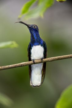 White-necked jacobin hummingbird....I plant specifically to draw these beauties to my yard.....I wonder if this kind is local?