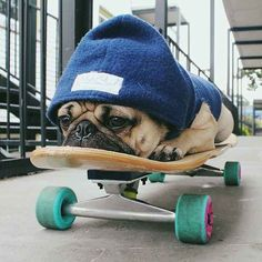 """❤ """"The bulldog riding the skateboard - over rated. Nap on skateboard -- good stuff!too bad it's not a bulldog. It's a pug 😒 Baby Animals, Funny Animals, Cute Animals, Pug Love, I Love Dogs, Doug The Pug, Pug Puppies, Cute Pugs, Adorable Puppies"""