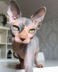 13 Convincingly Cute Sphynx Cats - Belezza,animales , salud animal y mas Pretty Cats, Beautiful Cats, Cool Cats, I Love Cats, Cute Hairless Cat, Chat Sphynx, Sphinx Cat, Photo Chat, Cat Aesthetic