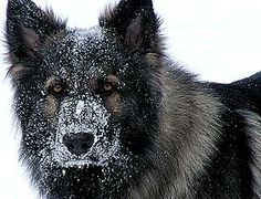 Picture of Hamish - Never Forgotten, We M, a male Shiloh Shepherd