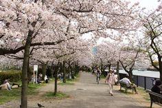 https://flic.kr/p/FT9Ho9 | Cherry Blossoms, Kema-Sakuranomiya-koen Park, Osaka, 2016 | 毛馬桜之宮公園