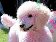 pink poodle - My Buffy dyed PINK!! LOL
