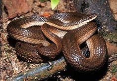 Iowa Crayfish Snake #snakes #reptiles #topanimals