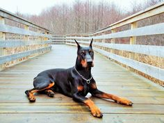 The Doberman Pinscher is among the most popular breed of dogs in the world. Known for its intelligence and loyalty, the Pinscher is both a police- favorite White Doberman Pinscher, Doberman Love, Big Dogs, Cute Dogs, Akita, Doberman Training, Puppies And Kitties, Doggies, Service Dogs