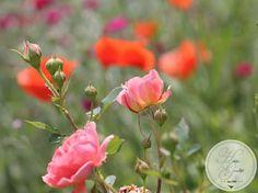 """hildisgoodlife: Manchmal bringt  Spontanvegetation die allerbeste Gestaltung: Rosa """"Boscobel"""" mit Klatschmohn und Silene Coronaria im Hintergrund"""