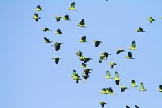 Red-crowned Parrots by Finatic 's iNaturalist Stream, via Flickr. I wish I could see a flock of parrots!!!!