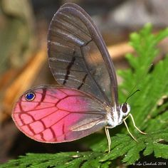 Ventral view of a Blushing Phantom(Cithaerias pireta aurorina) phtographed by Les Catchick in Ecuador on 22nd October 2014