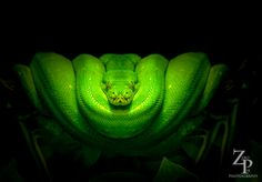 Green Tree Python. Love this photo and snake.