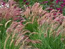 Pennisetum Karley Rose      Rose-purple plumes all summer      Very heavy blooming!      Happy in heat & drought      Over 5 months of blooms on this colorful Ornamental Grass for Sun  Zone 5,6,7,8,9, Blooms Early Summer  Dry, Average