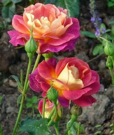 Details über 10 seltene rosa gelbe Rose Seeds Flower Bush mehrjährige Strauch Garden Home Exotic Rose Seeds Flower Bush Perennial Shrub. The rose bush seeds will usually continue to sprout over the course of two to three weeks, but probably only 20 to 30 Exotic Flowers, Amazing Flowers, Beautiful Roses, Beautiful Flowers, Flowers Nature, Bloom, Hybrid Tea Roses, Yellow Roses, Pink Yellow