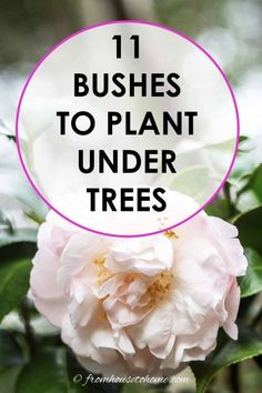 Shade Loving Shrubs: 11 Beautiful Bushes To Plant Under Trees – Gardening @ From House To Home This list of bushes that thrive in the shade is AWESOME! So many beautiful flowers and they are all perennials that will look gorgeous in my garden design. Shade Loving Shrubs, Shade Shrubs, Shade Garden Plants, Shade Perennials, Garden Trees, Garden Bed, Shade Trees, Shaded Garden, Backyard Trees