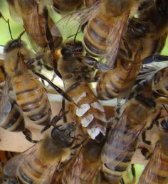 Rurification: Where Does the Wax Come From? Bees excrete wax from their abdomens.  It comes off in scales.