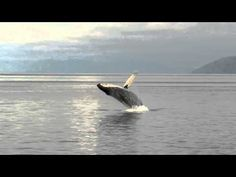 Breaching Whale on Icy Strait by Trish Feaster
