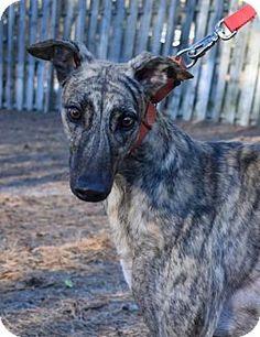 Cherry Hill, NJ - Greyhound. Meet Cruzin Gold, a dog for adoption. http://www.adoptapet.com/pet/17528049-cherry-hill-new-jersey-greyhound