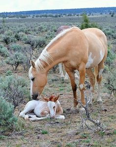 Palomino colored mare with paint markings and newborn foal.