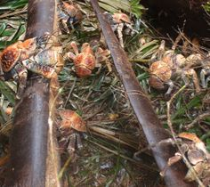 Absurd Creature of the Week: Enormous Hermit Crab Tears Through Coconuts, Eats Kittens | WIRED