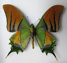 "The Kaiser-i-Hind (Teinopalpus imperialis) is a rare species of swallowtail butterfly found from Nepal and north India east to north Vietnam. The common name literally means ""Emperor of India"". The Kaiser-i-hind is much sought after by butterfly collectors for its beauty and rarity.The green iridescence of the wings has been found to be due to three-dimensional photonic structure of the scales and is the subject of much research."