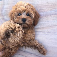 Dogs Breeds That Dont Shed Teacups Puppies For Sale 42 Best Ideas Cavapoo Dogs, Cavapoo Puppies For Sale, Teacup Puppies, Cute Dogs And Puppies, Goldendoodles, Mutt Puppies, Teddy Bear Puppies, Labradoodles, Doggies