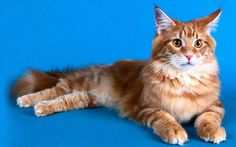 Maine Coon Cat | Maine Coon Cat Wallpapers