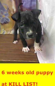 ★★ PER SHELTER, AT RISK FOR EUTHANASIA AT EOD MARCH 3RD WITHOUT AN ADOPTION OR RESCUE COMMITMENT ★★ #A446183 (Moreno Valley, CA) male, black and white Pit Bull Terrier mix. The shelter thinks I am about 9 weeks old.... City of Moreno Valley Animal Control Services. https://www.facebook.com/135559229932205/photos/a.382565775231548.1073741961.135559229932205/435395816615210/?type=3&theater