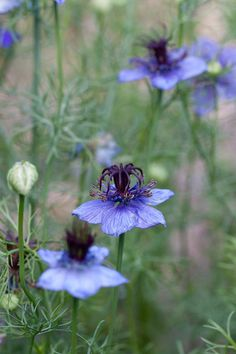"I have this as a self-sower: Nigella hispanica ""Spanish Love in a Mist"" -- good self-sower via Apartment Therapy"