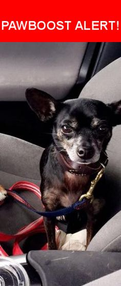 Is this your lost pet? Found in Villa Park, CA 92861. Please spread the word so we can find the owner!  Black Chihuahua mix with leather collar  Near Collins Ave. and Wanda Rd