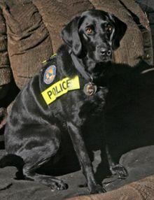 Sadie, 2011 Hero Dog Awards winner - Law Enforcement/ArsonDog