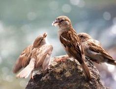 Femelle de moineau domestique nourrissant ses petits