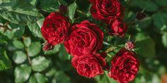 Πώς χρησιμοποιούμε τη μαγειρική σόδα στα φυτά του κήπου μας | Τα Μυστικά του Κήπου Home And Garden, Rose, Flowers, Plants, Cards, Snoopy, Gardening, Decoration, Decor