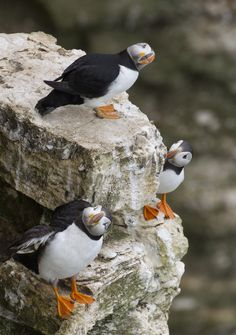 Three puffins checking out the sky. by Richard McManus on 500px