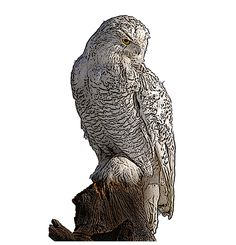 National Bird Project - Canadian Geographic - Vote for Canada's national bird Snowy Owl Owl Illustration, Snowy Owl, Black And Brown, Creatures, Birds, Projects, Animals, Art, Log Projects