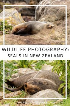 New Zealand has some amazing marine wildlife. Find out where to see seals in New Zealand, learn more about the animals and tips for photographing them. Visit New Zealand, New Zealand Travel, New Zealand Wildlife, Marine Debris, Animal Experiences, Dog Attack, Funny Expressions, Rocky Shore, Wildlife Photography