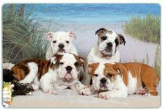 """Bulldog Cutting Board by Canine Designs. $29.95. Made of tempered glass making it virtually unbreakable.. Scratch Resistant - imprinted on back. Heat resistant.. Size: 8"""" x 11"""". Hygenic and easy to clean.. Our beautiful, dog breed cutting boards will enhance any kitchen. They make great gifts, are made of tempered glass and measure 9"""" x 12"""". They are heat resistant, scratch resistant, virtually unbreakable, easily cleaned and dishwasher safe."""