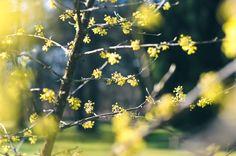 Early spring has arrived! Hello, April    blossoms , buds , blooms , flowers , spring has sprung , yellow , warm , focus , prime lens , photography , photographer , blogger , blog , on the blog , botanical garden , gardens , sky , inspiration , springtime , i love spring , april , nikon