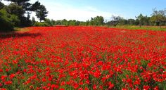 Discover the picture-perfect poppy fields of Provence