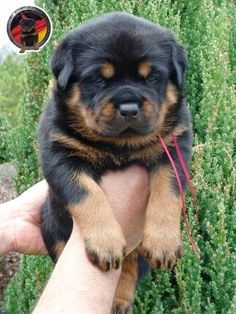 Pin By Clearly Internet On Rottweiler Puppies For Sale Pinterest