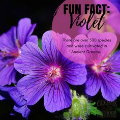 It's #FunFactFriday! This week our featured plan is February's flower of the month - the violet! This purple beauty comes in a variety of colors, can be found in the Northern Hemisphere, and even in exotic tropics like Australia and Hawaii! 💜