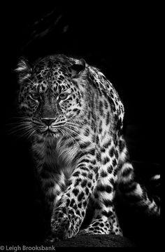 Amur Leopard (Explored 10/2/13), via Flickr.