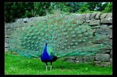 Male Peacock. Me thinks he may be compensating for something............