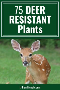 Deer can devour a garden overnight. Planting annuals and perennials that deer don't like to eat can save a lot of time and money. This list of 75 deer resistant plants is a great resource before you buy plants! #deerresistantplants #deerresistant #trilliumliving